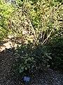 Viburnum harryanum - J. C. Raulston Arboretum - DSC06253.JPG