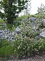 Viburnum maculatum Orjen Bijela gora.JPG