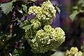 Viburnum opulus Roseum 2zz.jpg