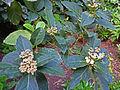 Viburnum tinus subsp. rigidum.jpg