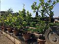 Villa di Castello - Citrus trees.JPG