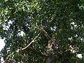 Vilvam-tree.jpg