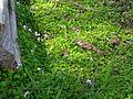 Viola banksii habit1 - Flickr - Macleay Grass Man.jpg