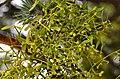 Viscum laxum subsp. laxum (8453277795).jpg