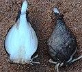 Viviparous bulb - bulb details (11831388034).jpg