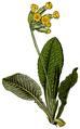 WWB-0014-002-Primula veris-crop.png