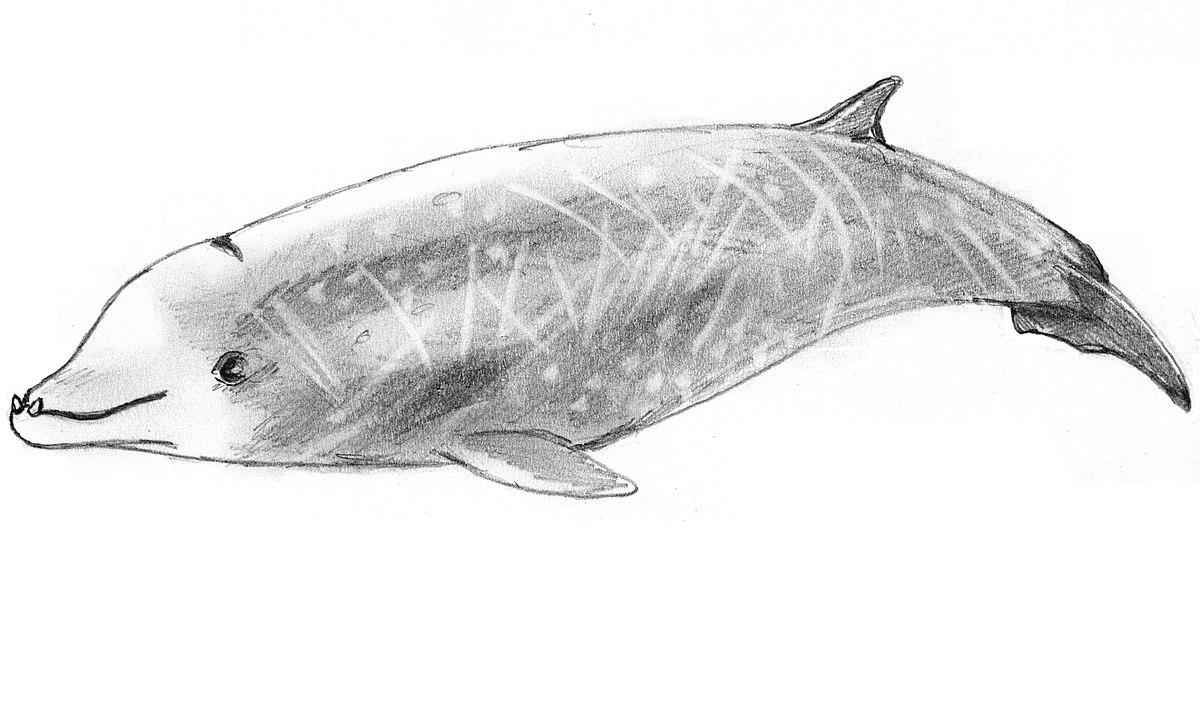 Cuvier\'s beaked whale - Wikipedia