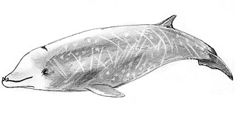 Cuvier's beaked whale - Image: Wal Cuviera