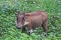 Warzenschwein IMG 7982.jpg