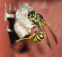 Polistes dominulus building nest in California
