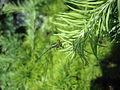 Weidenjungfer (Chalcolestes viridis).jpg