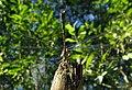 Weidenjungfer (Chalcolestes viridis) 3.jpg
