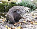Weissschwanzstachelschwein Hystrix indica Tierpark Hellabrunn-9.jpg