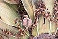 Welwitschia mirablis-1390 - Flickr - Ragnhild & Neil Crawford.jpg