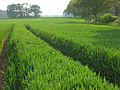 Wheat, Bradfield - geograph.org.uk - 814154.jpg