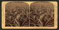 Where the luscious pineapple grows, Florida, U.S.A, from Robert N. Dennis collection of stereoscopic views.png