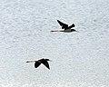 White-backed Stilt (Himantopus melanurus) in flight - Flickr - Lip Kee.jpg