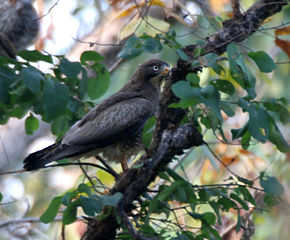 Description de l'image White-eyed Buzzard (Butastur teesa) in Kawal WS, AP W IMG 2034.jpg.