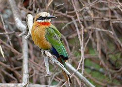 White-fronted Bee-eater (Merops bullockoides) (11874226906).jpg