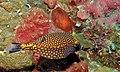 White-spotted Boxfish (Ostracion meleagris) male (8482087624).jpg
