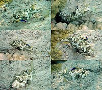 White-spotted puffer is being cleaned by Hawaiian cleaner wrasse.jpg