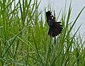 White-winged Widowbird (Euplectes albonotatus) (13780526283).jpg