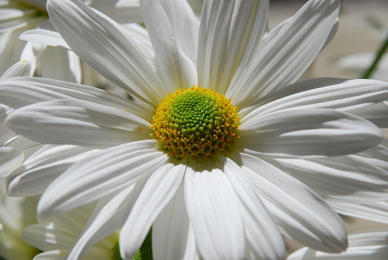 File:White Daisy 02.JPG