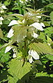 White Dead-nettle (Lamium album) (4626087949).jpg