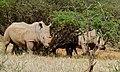 White Rhinoceros (Ceratotherium simum) (6628522041).jpg