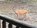 White Tailed Deer, Westcolang, PA.jpg