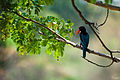 White Throat Kingfisher - 2.jpg