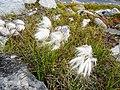 White fluffy flowers Lille Malene hike near Nuuk Greenland.jpg