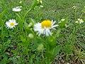 White mountain flower.jpg