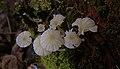 White mushrooms (4374837486).jpg