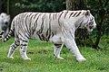 White tiger - Serengeti-Park Hodenhagen 2017 05.jpg