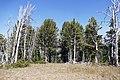 Whitebark pine trees (19931505703).jpg
