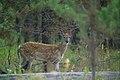 Whitetail fawn (4497673189).jpg