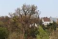 Wien-Penzing - Naturdenkmal 8 - Stieleiche (Quercus robur) II.jpg