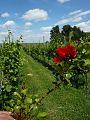 Wijngaard van Ditshuizen.jpg