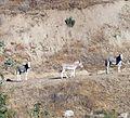 Wild Burros, San Timoteo Canyon 7-12 (7604960106).jpg