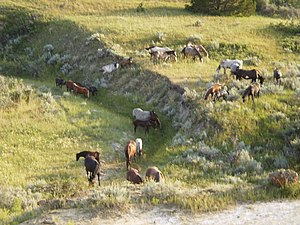 English: A herd of wild horses in Theodore Roo...