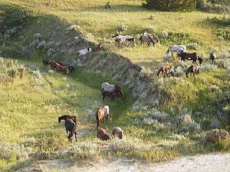 Theodore Roosevelt National Park - Image: Wild Horses In Theodore Roosevelt National Park