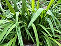 Wild Pandan leaves at Mossy Forest, Cameron Highlands.jpg