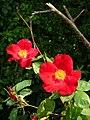Wild Rose - geograph.org.uk - 841221.jpg