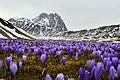 Wild Saffron fields in Gran Sasso National Park with Corno Grande on the background.jpg