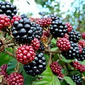 Wild blackberries by the A40 - geograph.org.uk - 1461926.jpg