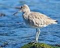 Willet (non-breeding plumage) (40285021532).jpg
