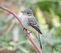 Willow Flycatcher 6302vv.jpg