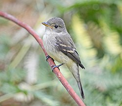 Willow Flycatcher 6302vv.jpg