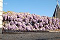 Wisteria sinensis Charente.jpg